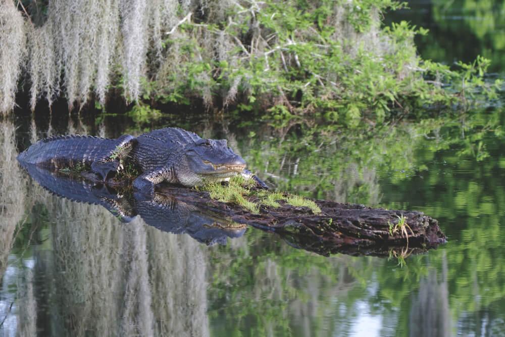 Alligator resting on log on the bayous of the mississippi river