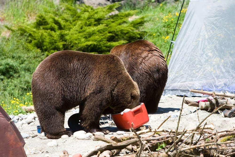Bears cleaning out a cooler left out in sun