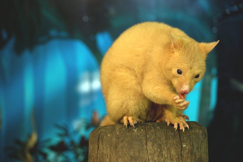 Blond possum eating at night in natural habitat