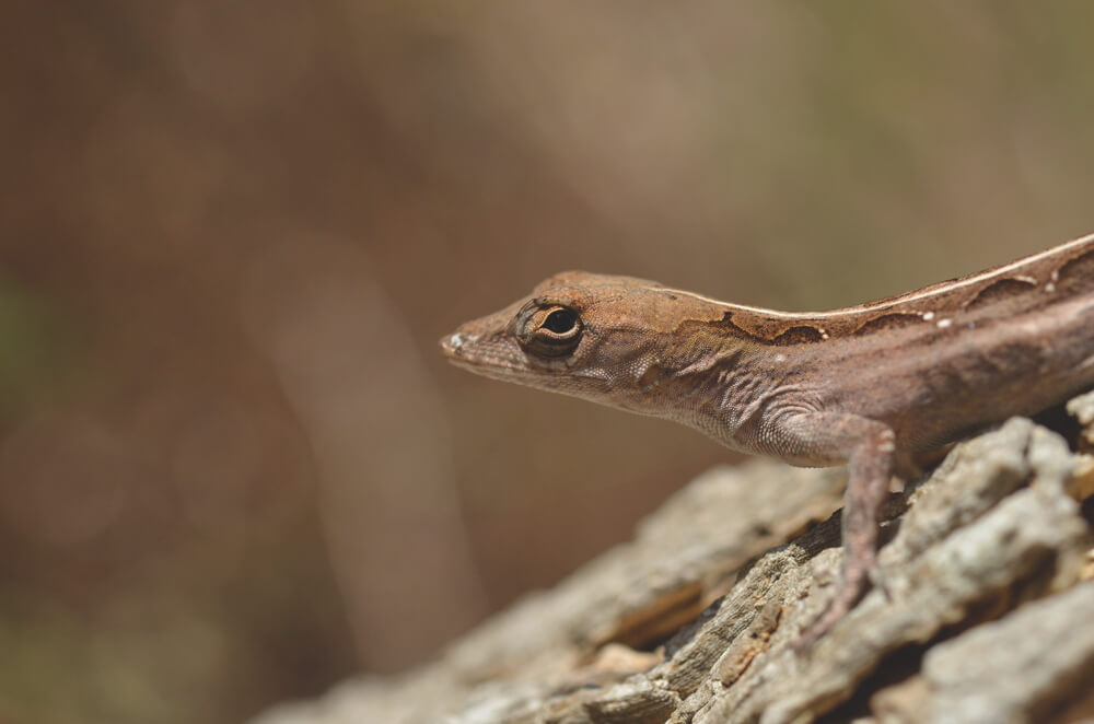 Brown anole aka Anolis sagrei lizard native to Cuba and the Bahamas