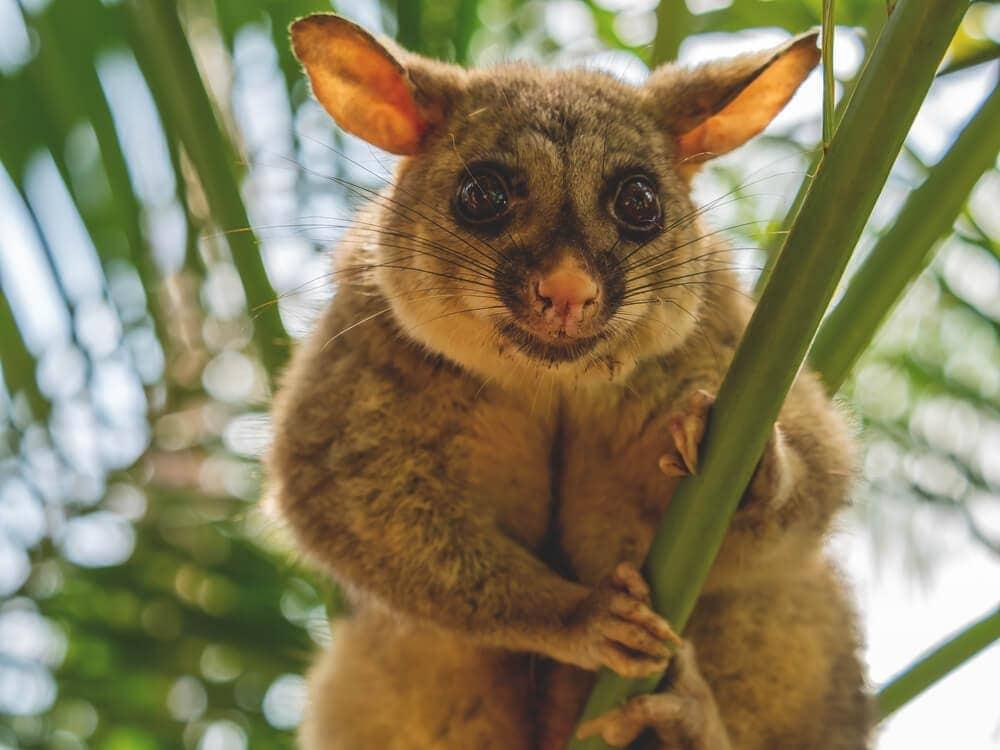 Cut australian possum in queensland staring in natural habitat