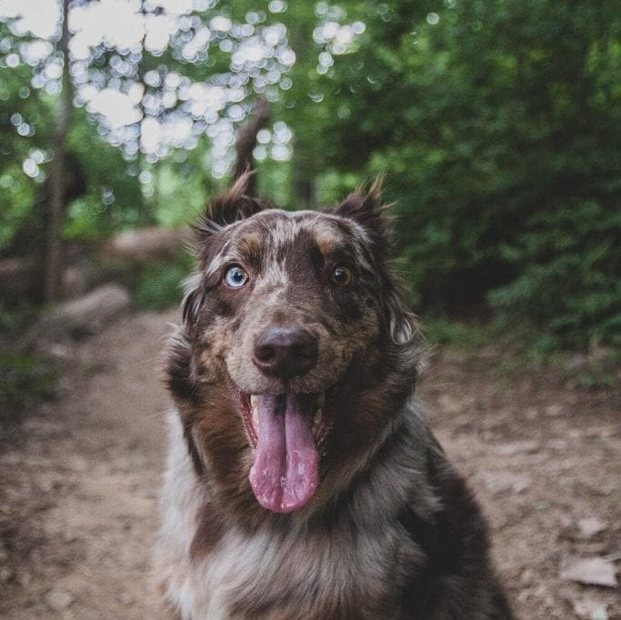 Dog on trail hike with owner keen to walk faster