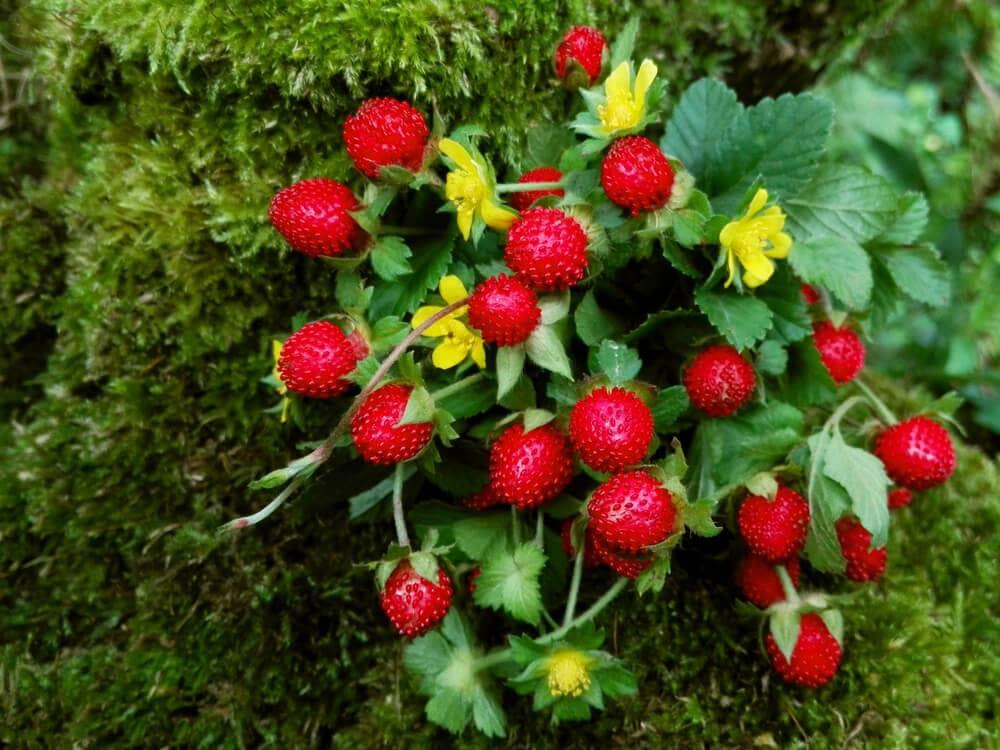 Flowering wild snake berries indian mockberry