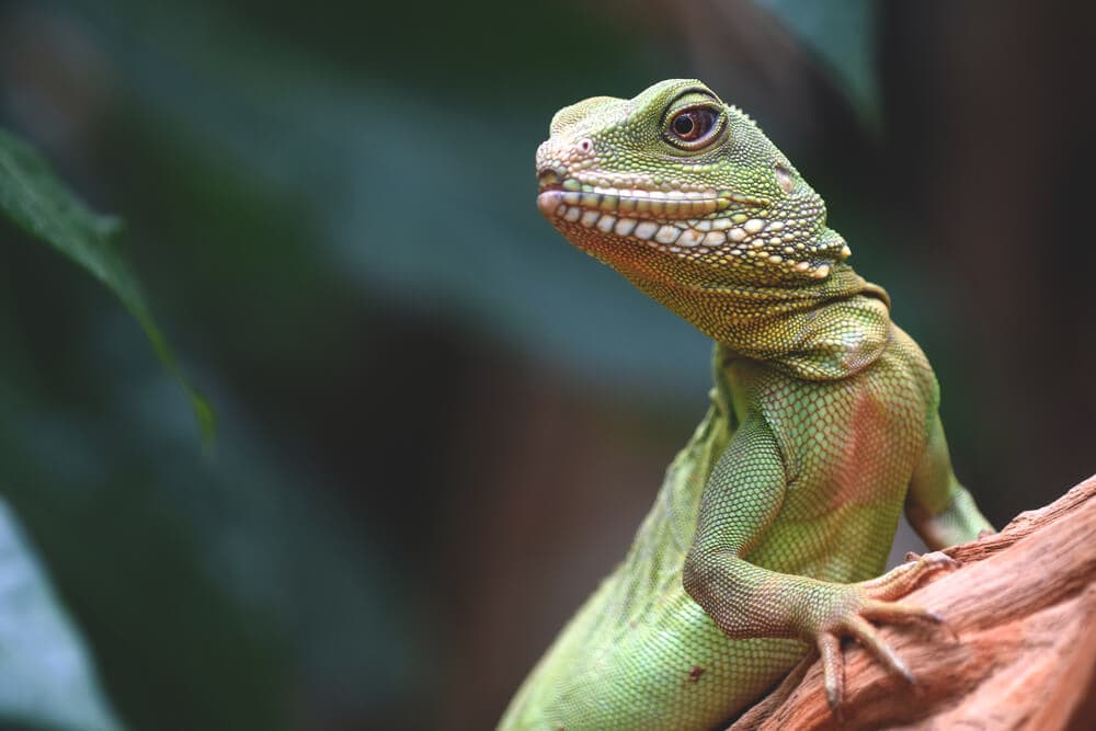 Green lizard in tree looking forward for next meal