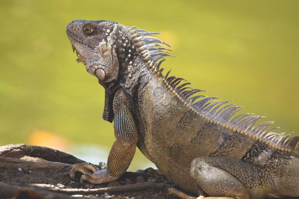 Iguana green brown domesticated