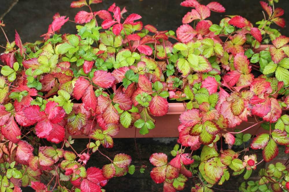 Leaf not ripened snake berries indian mockberry