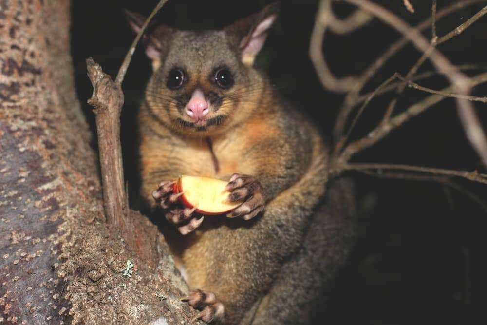 Making friends with a cool possum night time feed with apple