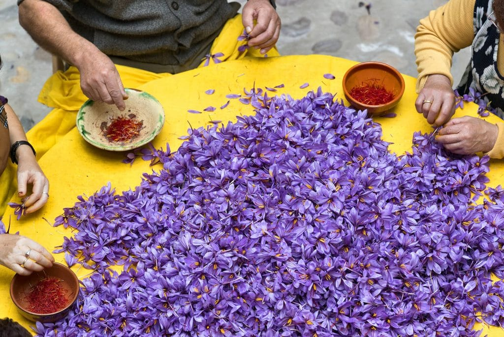 Three seated framers harvest red Saffron threads amongst a table of purple flowers