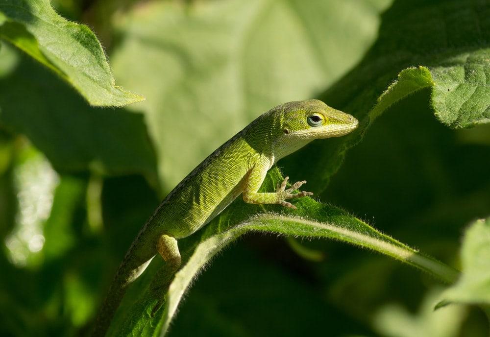 North american green anole lizard