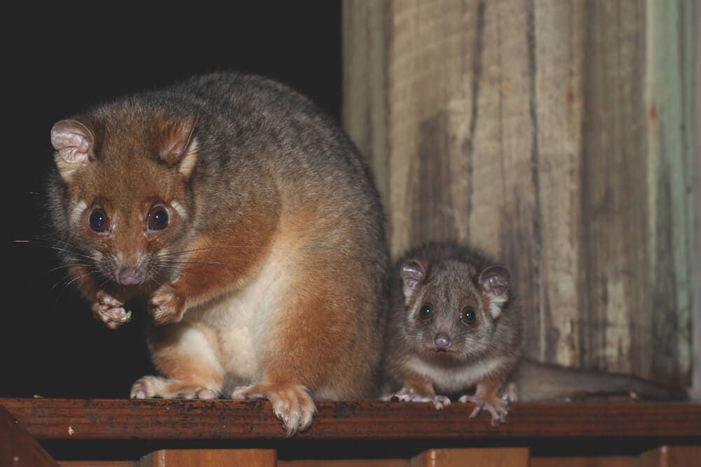 Possum family sitting on porch at night wating for food
