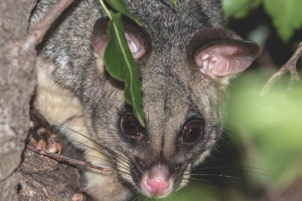 Possum planning and looking on for humans to leave