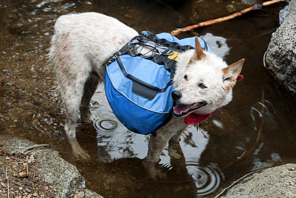 Rugged dogs with dog pack cooking off during hike