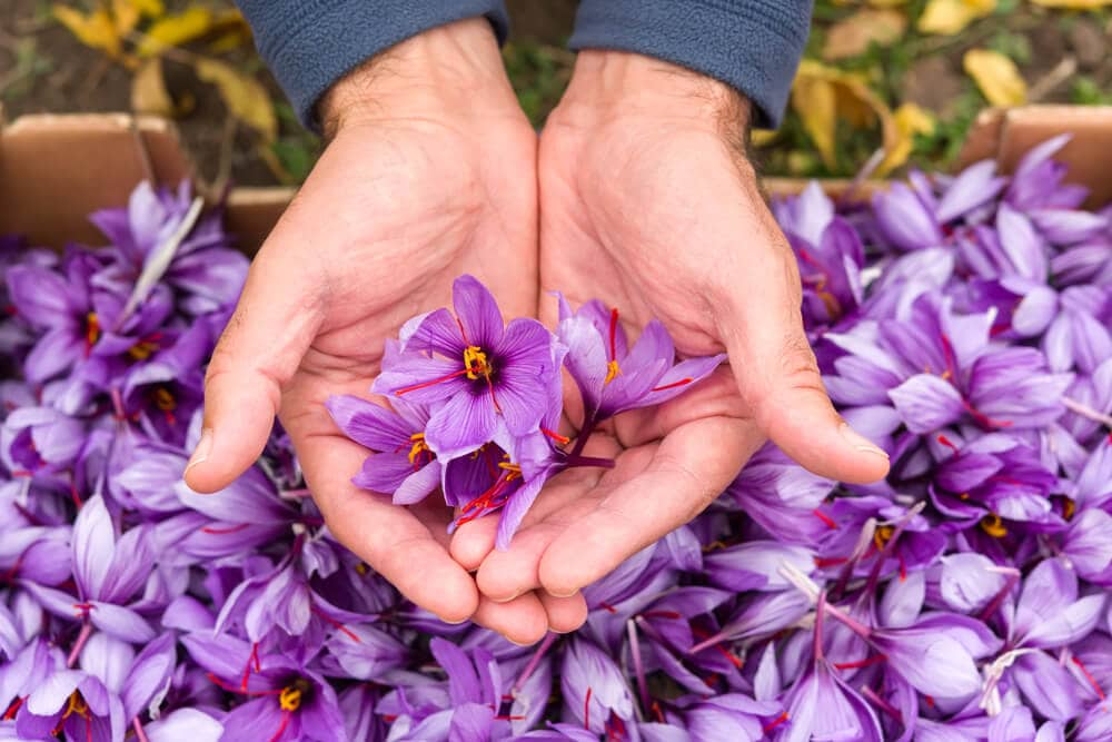 Close up of Saffron flower held in hand with many other puple flowers