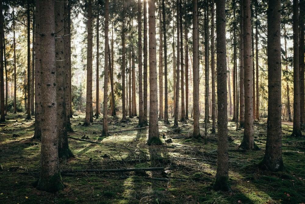 Tall dense trees in forest morning sunlight