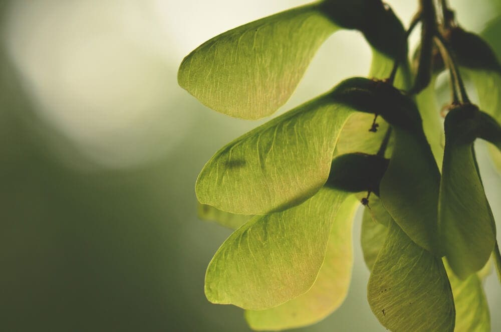 Translucent green young maple seed see through in sunlight