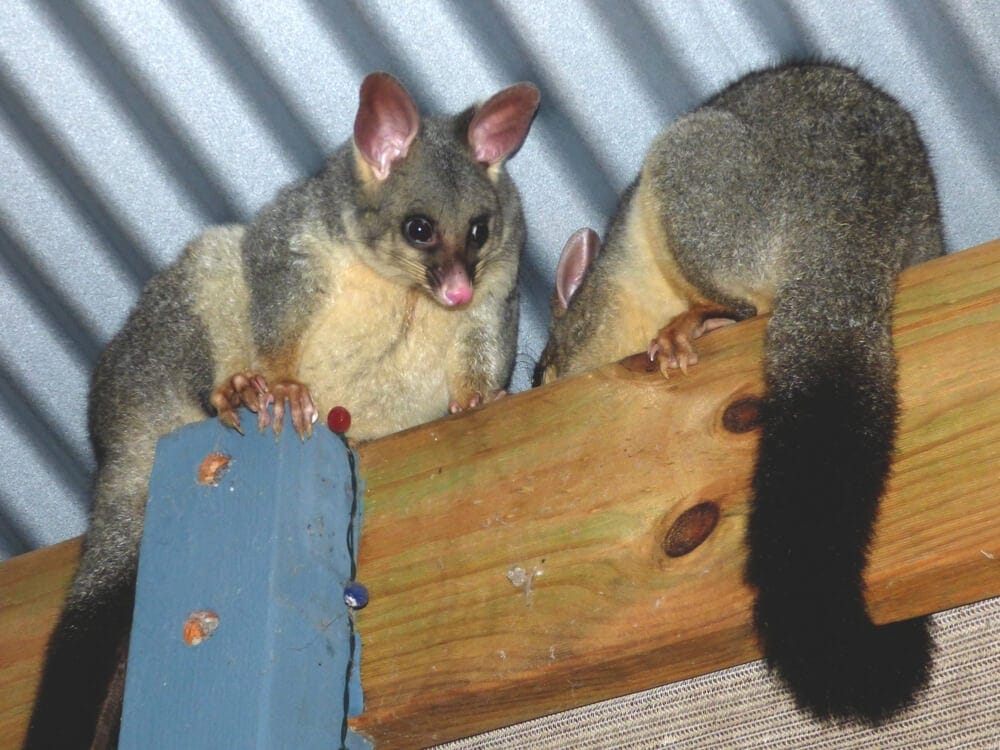 Two possums hid and wait for food at outback patio
